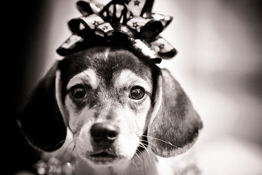 black and white photo of a beagle with a bow on its head