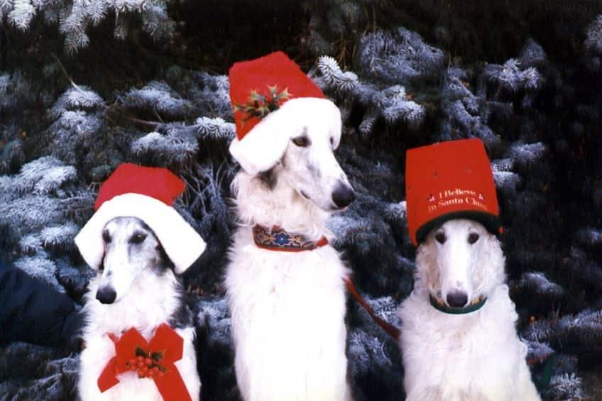 three white hounds wearing Santa hats