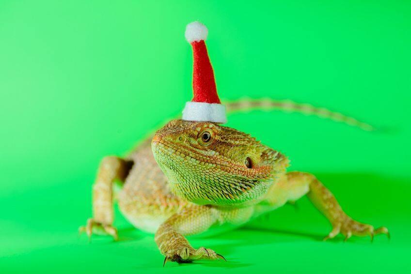 lizard wearing a teeny tiny Santa hat