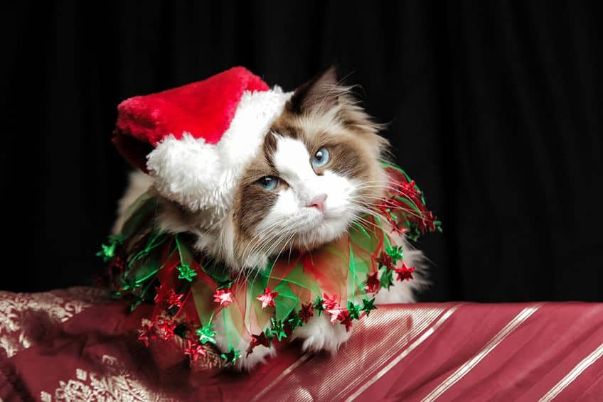 fluffy cat in Santa hat