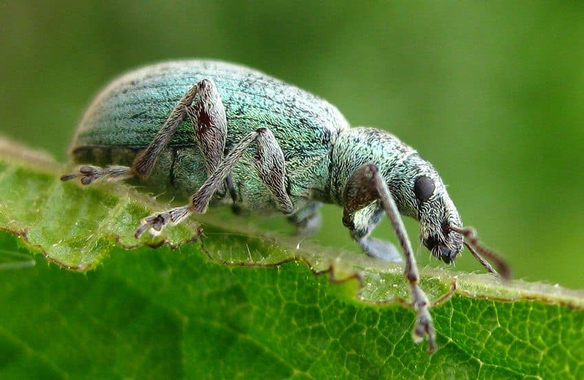 a green weevil on a leaf