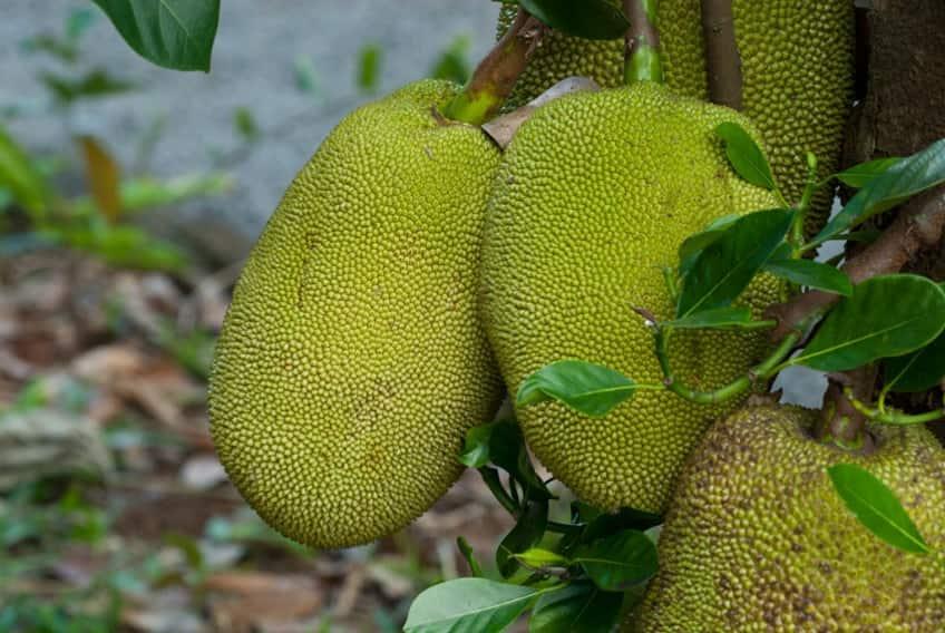 A couple of large jackfruits on a tree