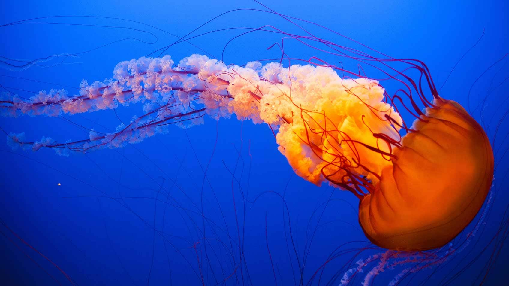 10 cool things you didn t know about jellyfish explore for Fish in jellyfish