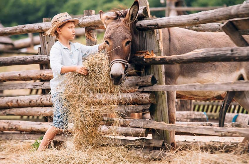 a young boy on a farm feeds hay to his donkey