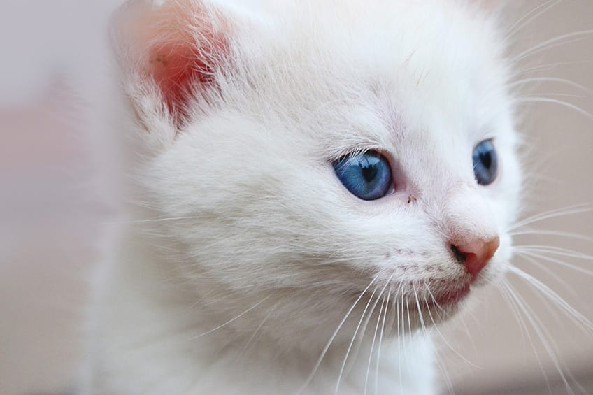 little white kitten with blue eyes