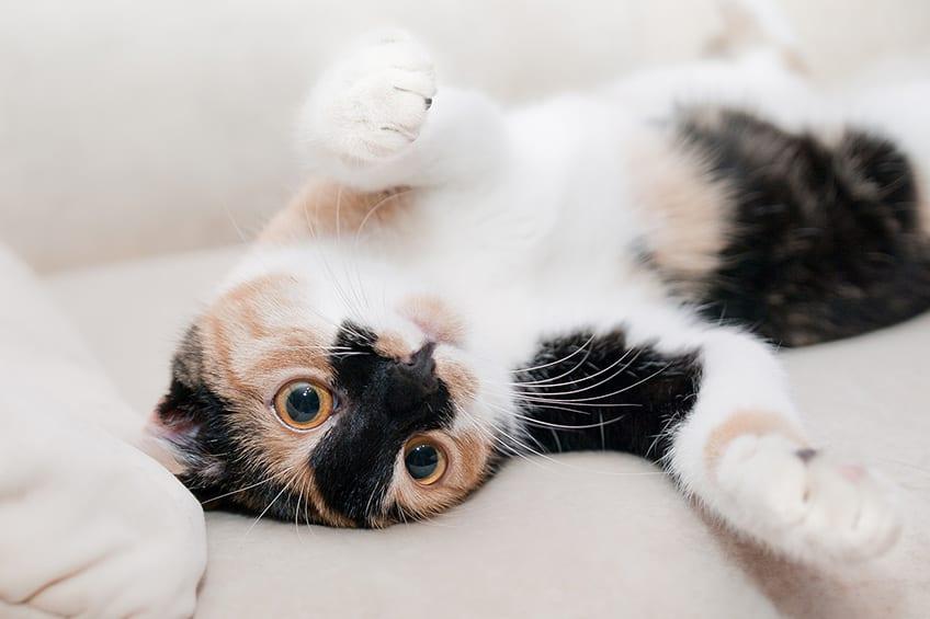 calico cat lying on its back