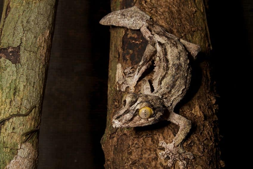 a camouflaged gecko on a brown tree branch
