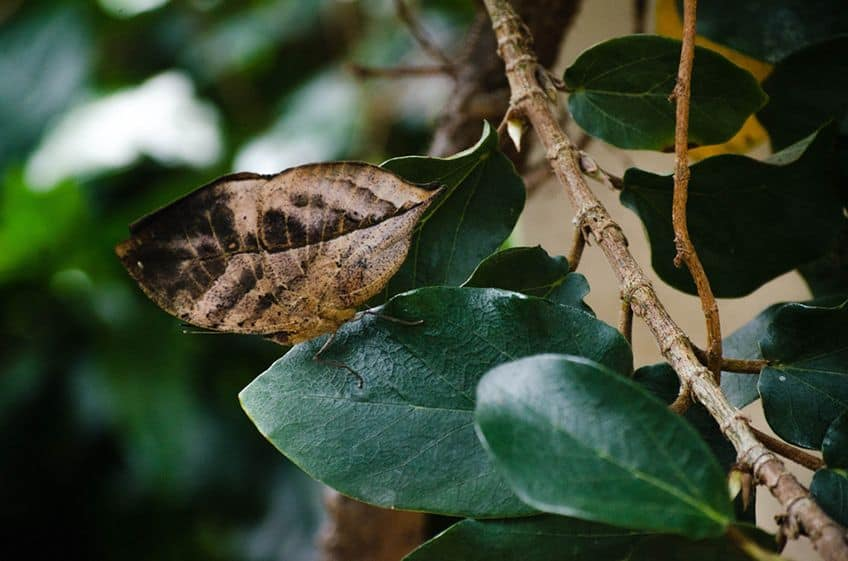 a brown butterfly looking like a dead leaf on a green tree branch