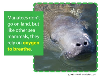Manatees do not go on land but rely on oxygen to breathe