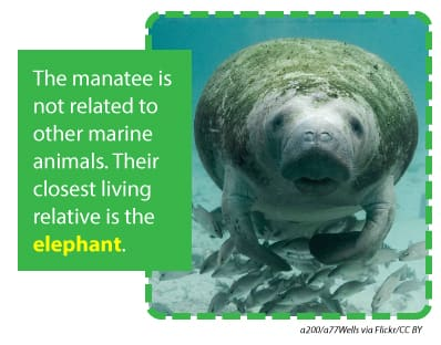 The manatee is not related to other marine animals and their closest living relative is the elephant