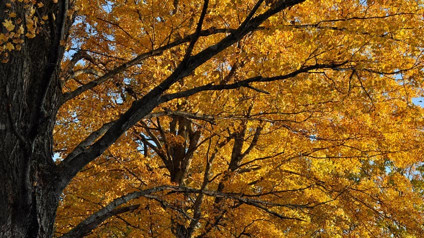 Looking up at two sugar maple trees, full of orange leaves.