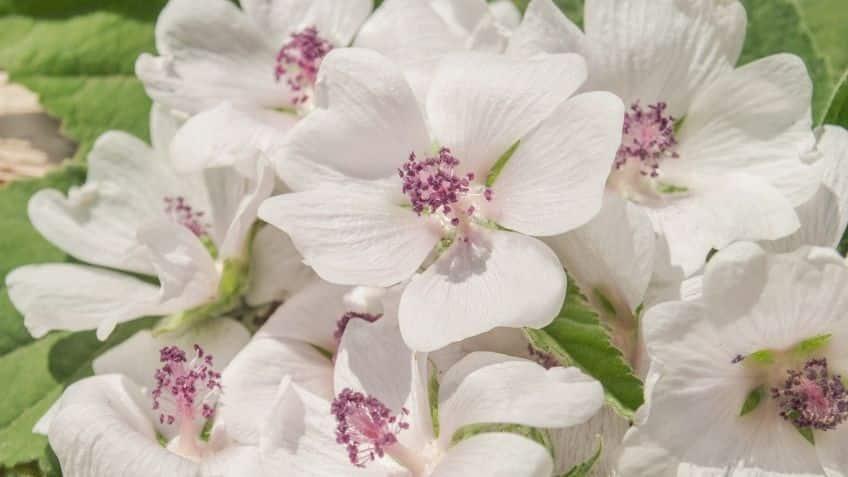 the marshmallow flower