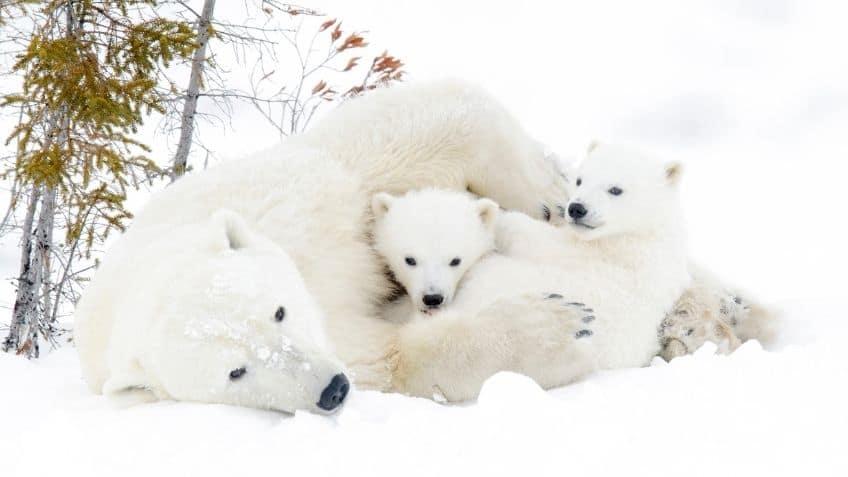 polar bears on snow