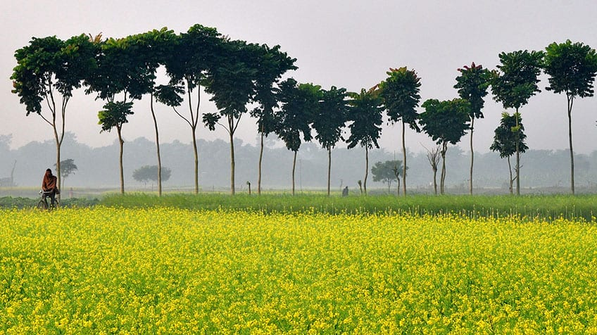 A mustard field in blooming yellow flowers.