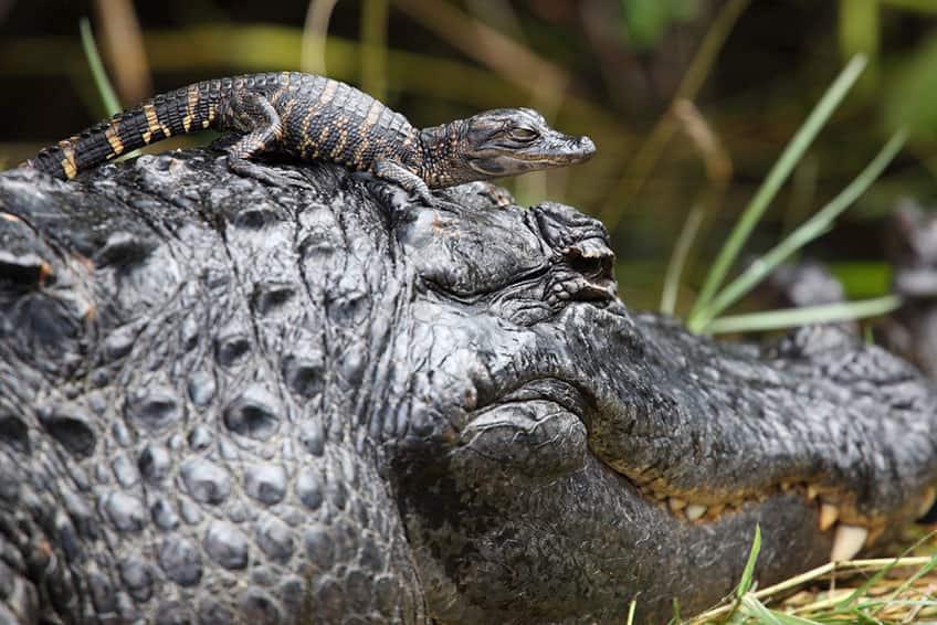 animal mom alligator