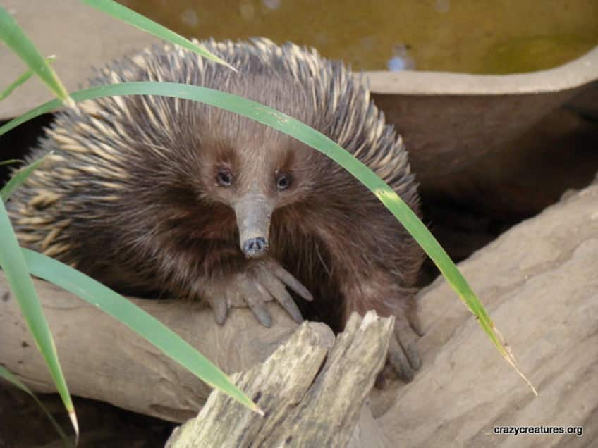 the mysterious echidna