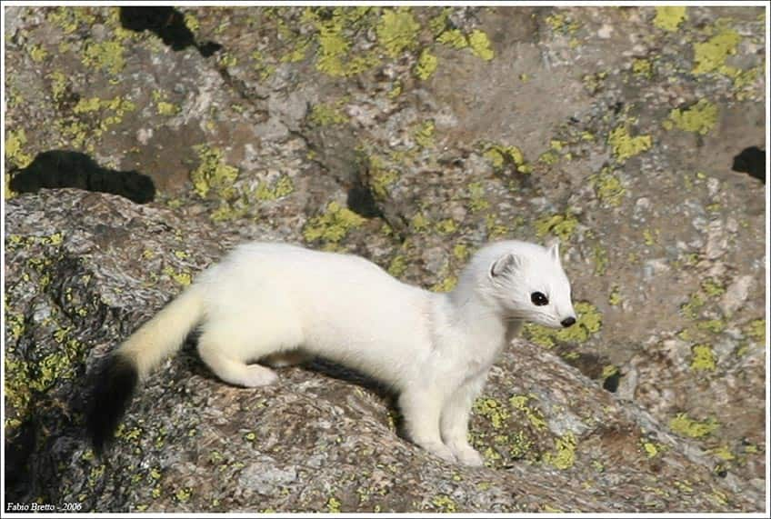 A white ermine on a rock