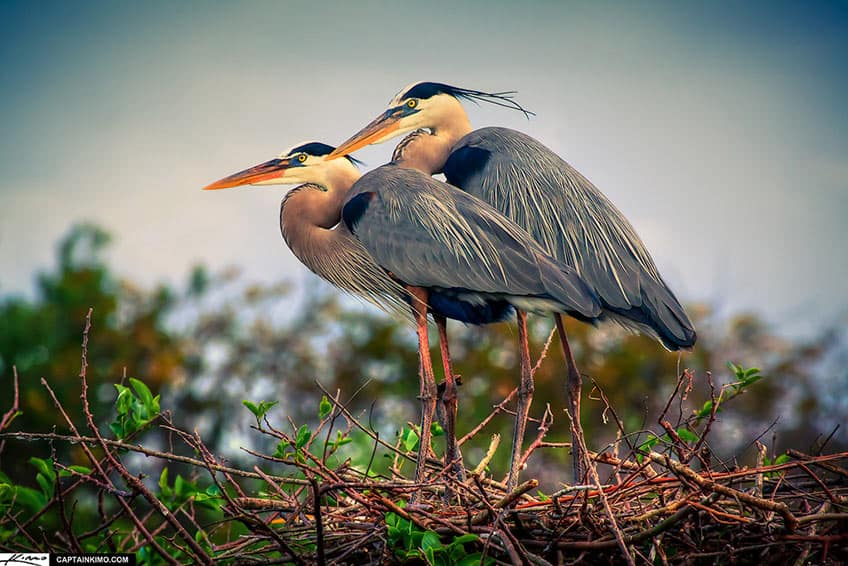 Herons sitting on their nest