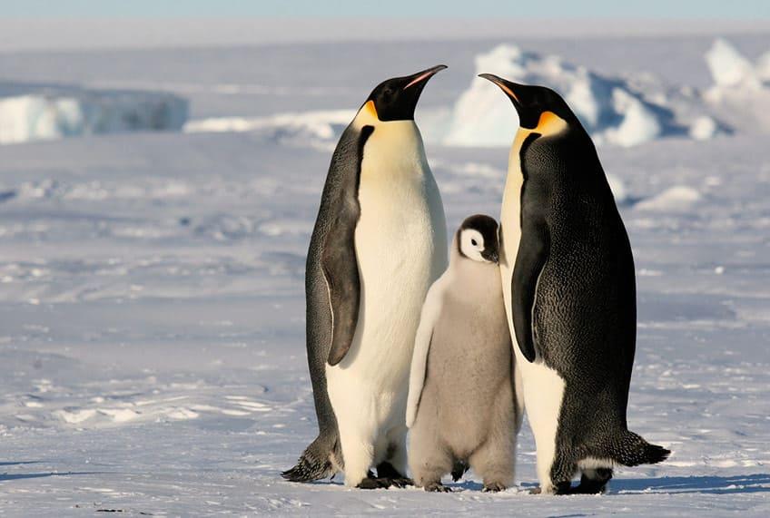 Animal mom emperor penguins