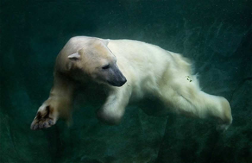 Polar bear swimming in ocean - photo#48