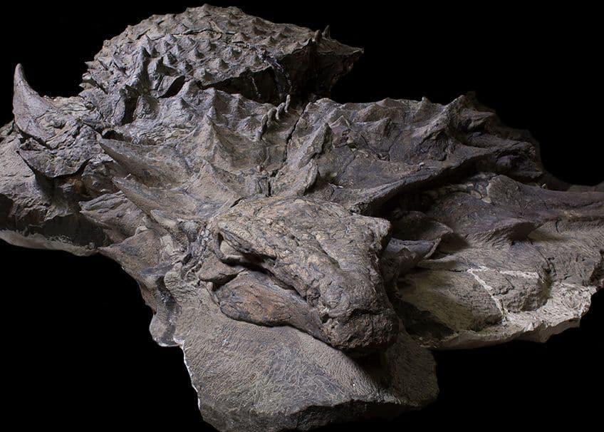 the nodosaur fossil