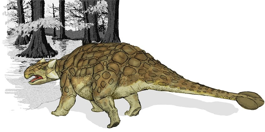 a drawing of the nodosaur's closest relative, the ankylosaur