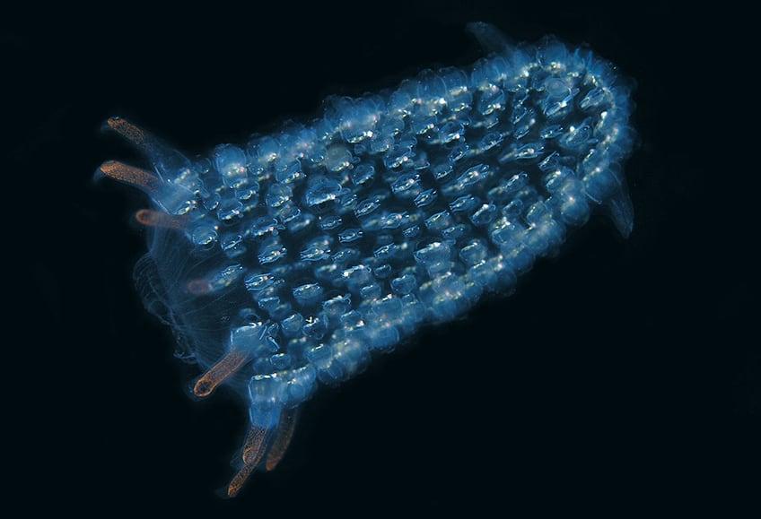 A bioluminescent salp