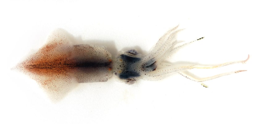 Photo of a sparkling enope squid which is bioluminescent