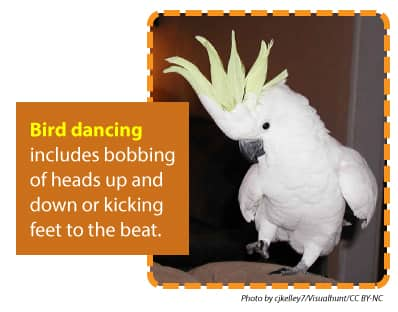 Bird dancing includes bobbing their heads up and down or kicking their feet to the beat