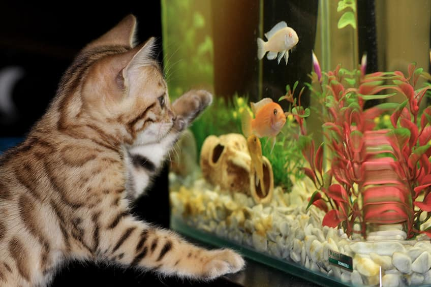 tabby cat pawing at the outside of a fish tank