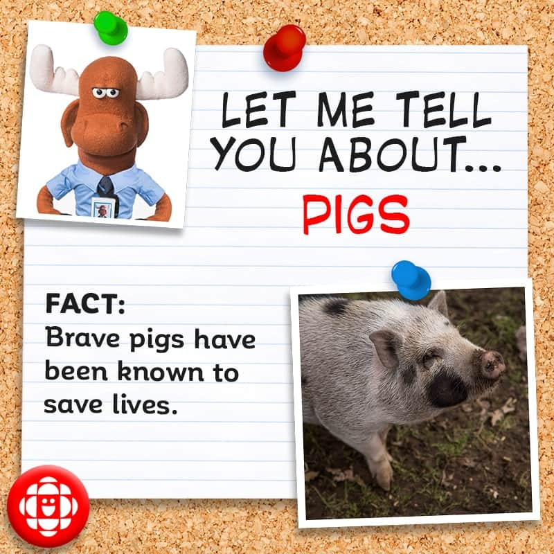 Fact: Brave pigs have been known to save lives