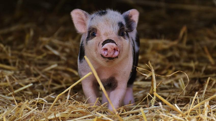 A cute little black and pink spotted piglet looking forward, standing in hay