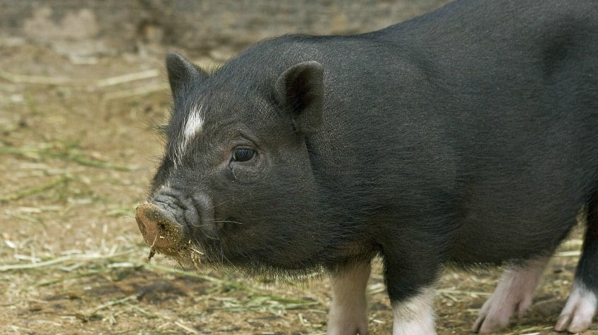 A black pig with a white spot between his eyes standing and looking to the left in grass and hay