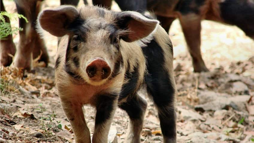 A cute brown, spotted pig with big floppy ears standing outside on some leaves with older pigs in the background