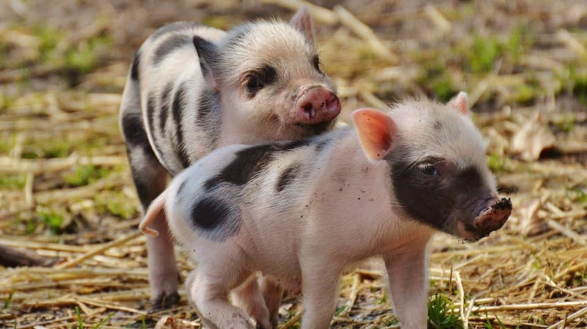 5 reasons pigs make awesome pets | Explore | Awesome