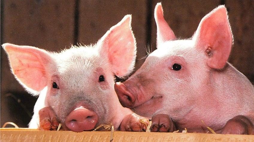 Image result for pig