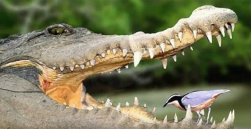 Egyptian plover and crocodile