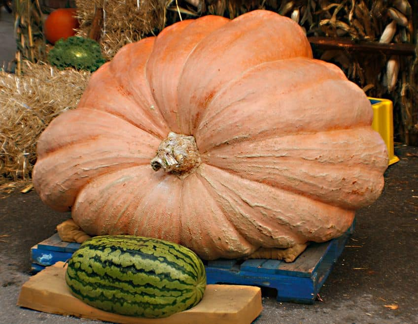A giant pumpkin grown from Howard Dill's seeds
