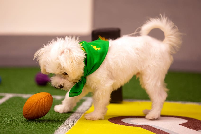 puppy staring down at a football chew toy