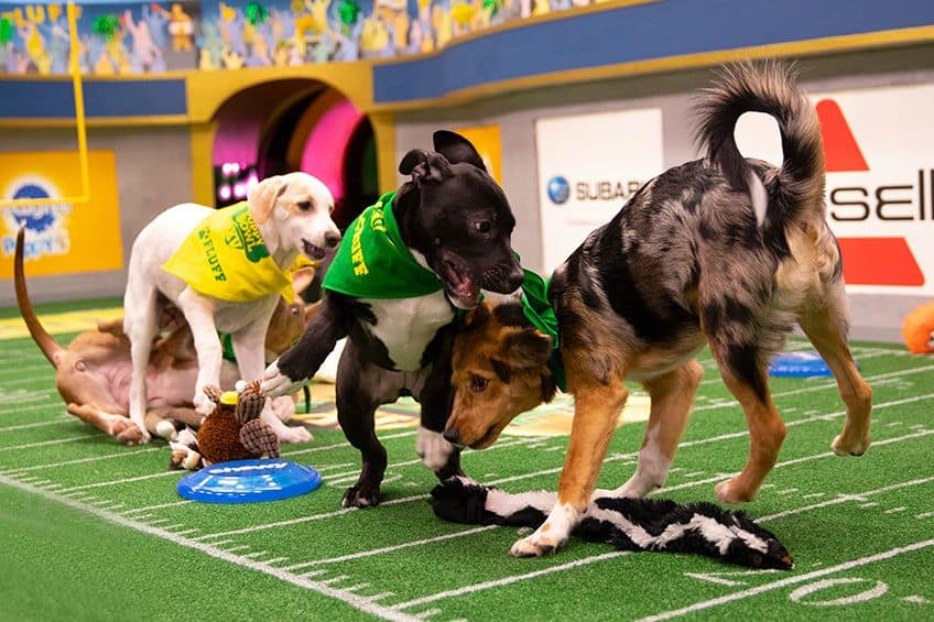 three dogs run into each other on the football field