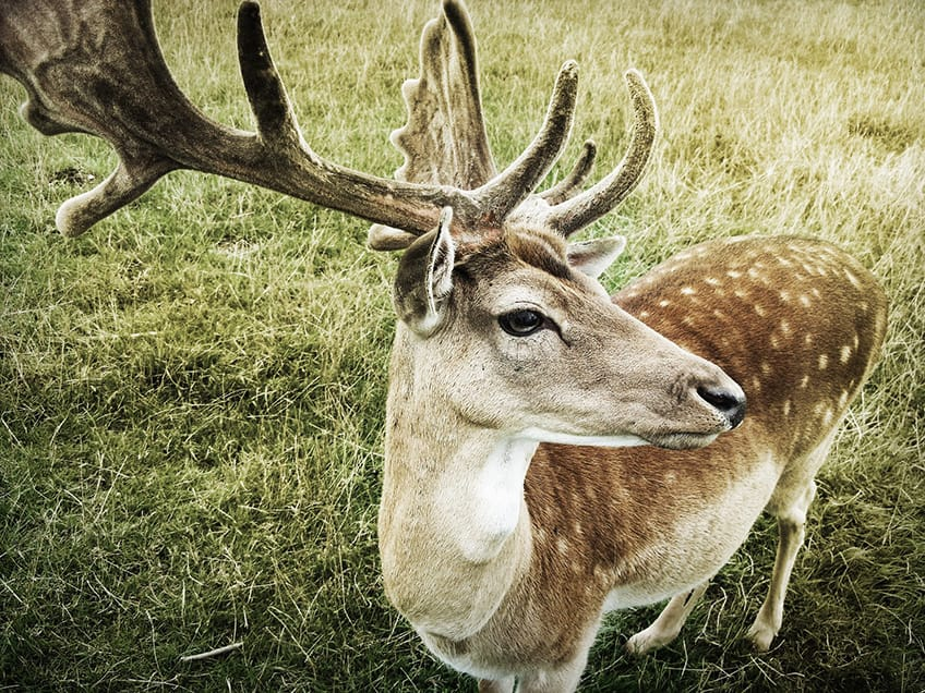 close-up of deer head with a full rack of antlers