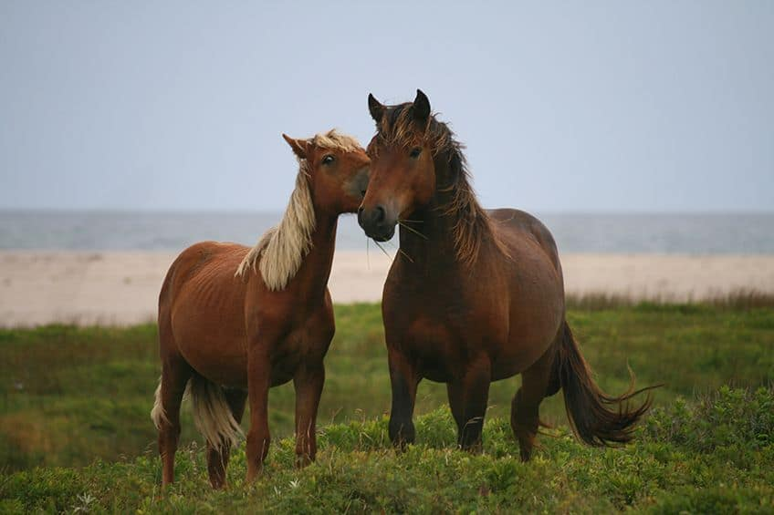 Horses on Sable Island