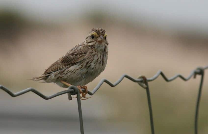 An Ipswich Sparrow sitting on a fence