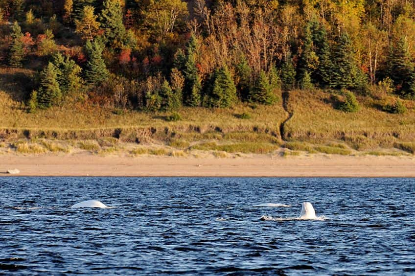 beluga whales pop up from the water off the shore of park