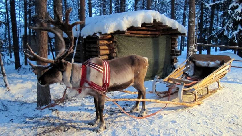 Real reindeer pulling a sleigh