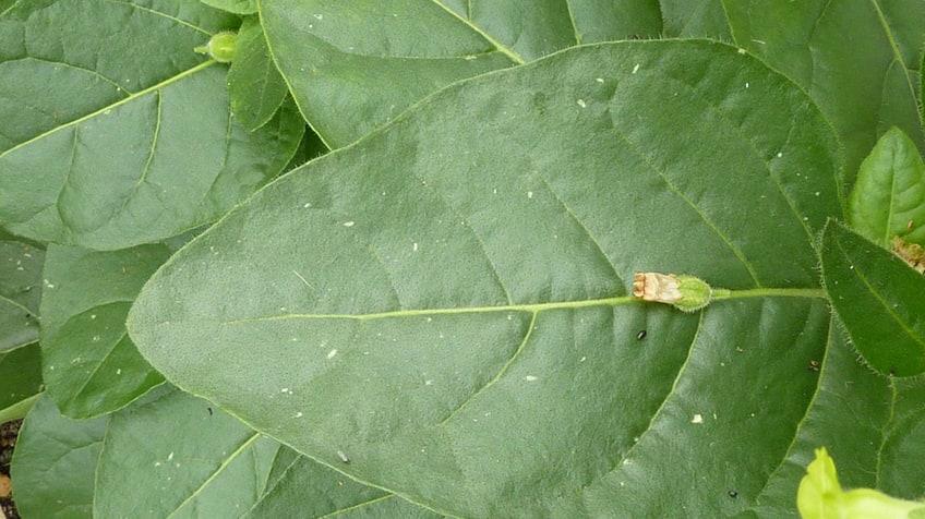 the wild tobacco plant