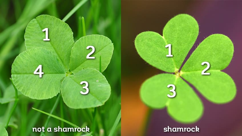 How Did The Shamrock Become So Lucky Explore Awesome