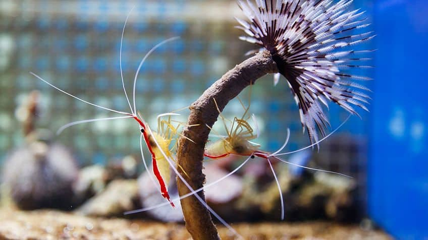 Cleaner shrimp and fish