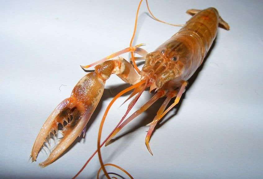 a Pistol shrimp with a very large front claw