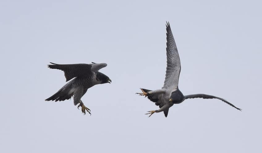 two falcons playing in the sky